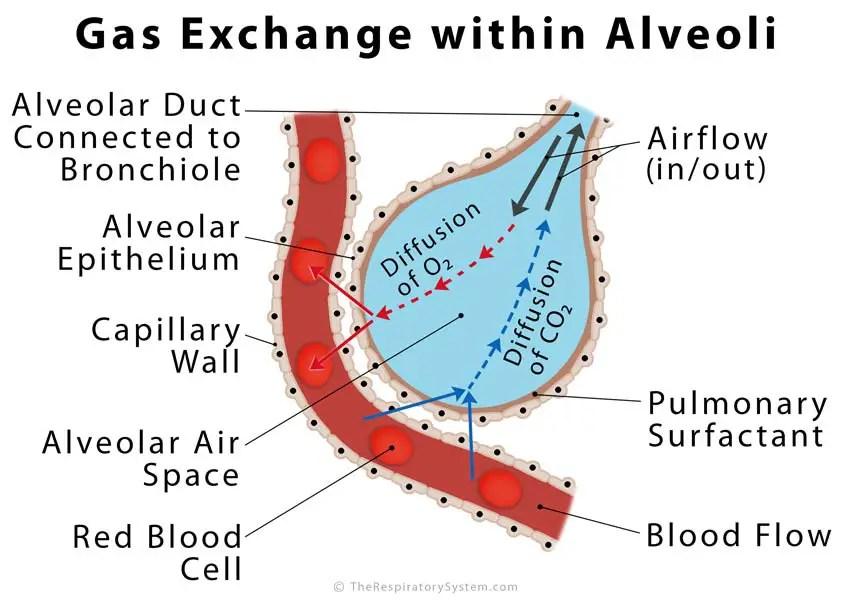 Alveoli Definition, Location, Anatomy, Function, Diagrams