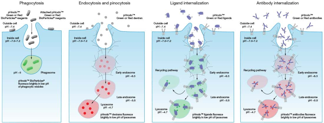 Phagocytosis, Endocytosis, and Receptor Internalization Thermo