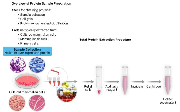 Detergents for Cell Lysis and Protein Extraction Thermo Fisher
