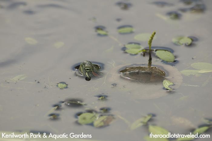 Tiny Turtle at Kenilworth Park & Aquatic Gardens