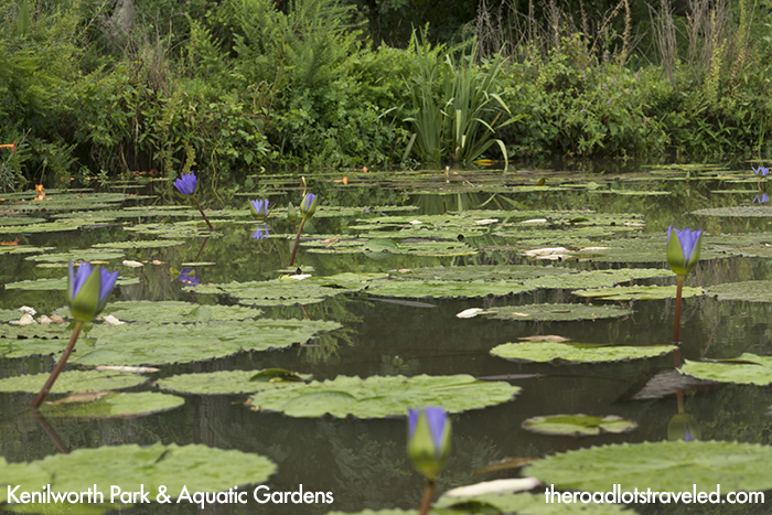 Water Lilies at Kenilworth Park & Aquatic Gardens