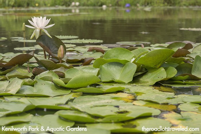 Lily Pads at Kenilworth Park & Aquatic Gardens