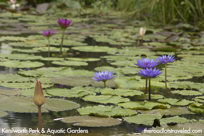 Water Lilies at Kenilworth Park & Aquatic Gardens