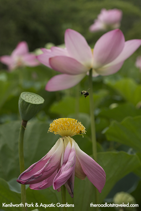 Bee on a Lotus Flower in Kenilworth Park & Aquatic Gardens