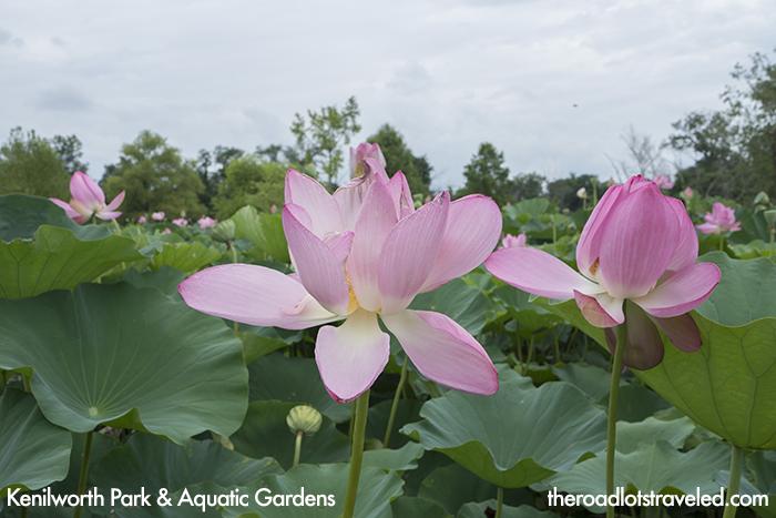 Lotus in Kenilworth Park & Aquatic Garden