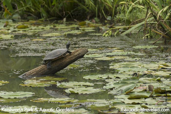 Turtle at Kenilworth Park & Aquatic Garden