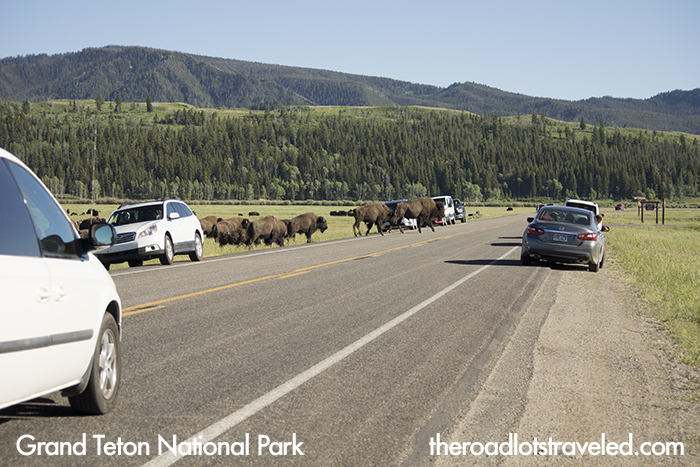 Bison Herd, Elk Ranch, Grand Teton National Park Photo Spots