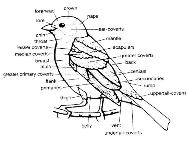 bird body parts diagram