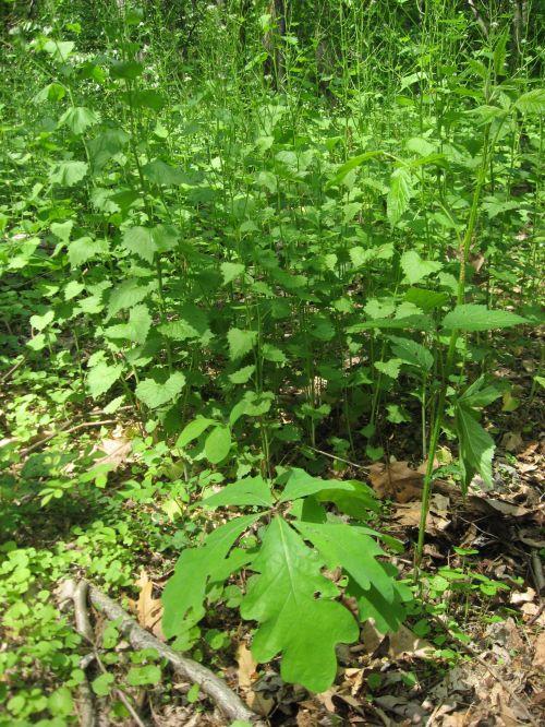 Medium Of Dark Oak Sapling Wont Grow