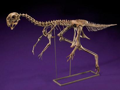 Fossil-oviraptor-410