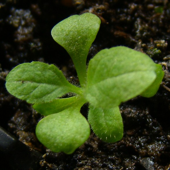 Foxglove Digitalis Seedling Image