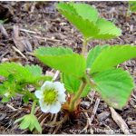 Perennial Fruits for Self Sufficiency