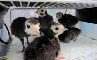 Hatching Heritage Turkey Poults - The Self Sufficient HomeAcre