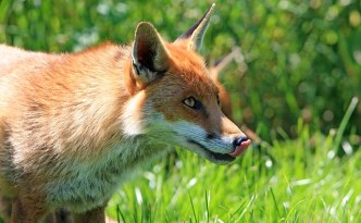 A Fox in the Barnyard - The Self Sufficient HomeAcre