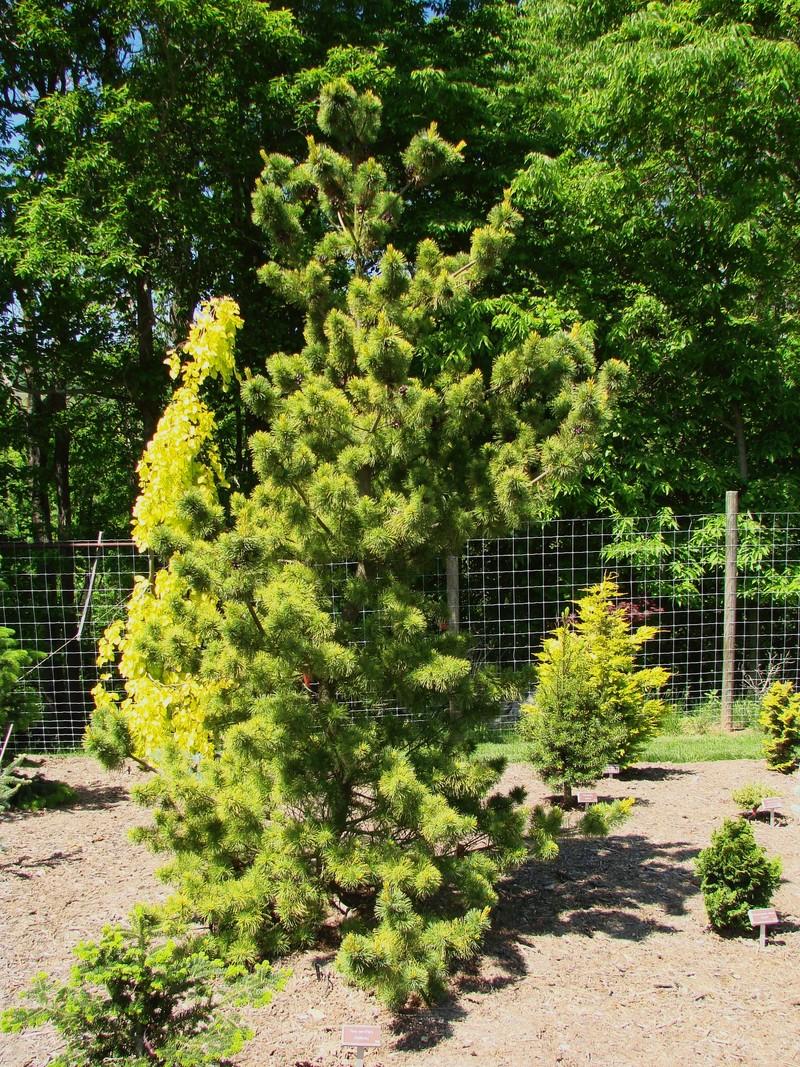 Landscape Gardener Pinus Parviflora `Goldilocks' - The Site Gardener