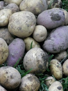 Potatoes freshly dug from our front-yard kitchen garden