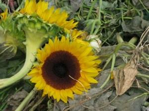 Sunflowers brighten the compost heap