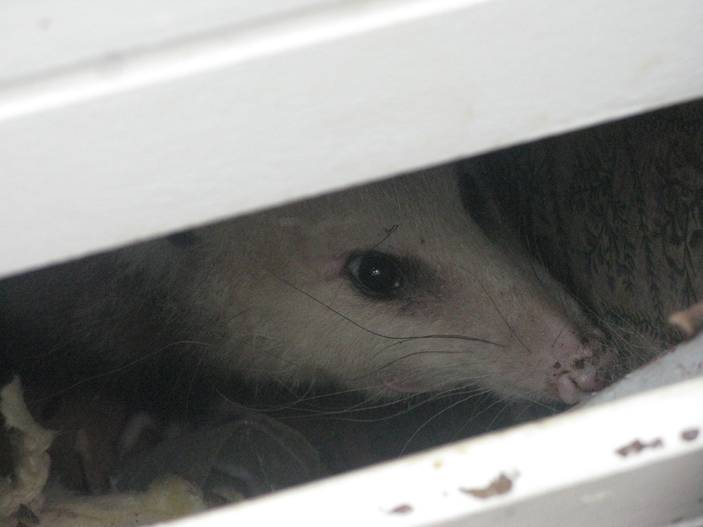 possum in the basement the slow cook