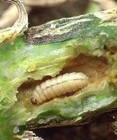 These will kill your zucchini