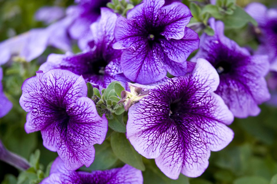 Pictures Of Purple Flowers