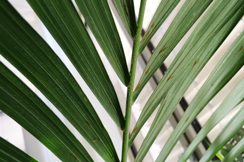 Fabulous How To Grow Palm Trees S Majesty Palm Care Outside Majesty on chamaedorea palm care, areca palm care, bottle palm care, foxtail palm care, christmas palm care, canary island date palm care, queen palm care, pindo palm care, kentia palm care, parlor palm care, majestic palm care, palm tree care, ravenea palm care, phoenix palm care, bamboo palm care, windmill palm care, sago palm care, chinese fan palm care, european fan palm care, bismarck palm care,