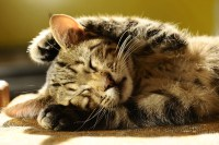 Cat documentary The Lion in Your Living Room shows the ...