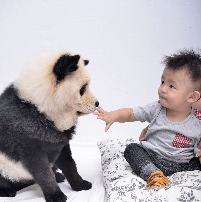 Alluring Meet Singapore Pups That Look Just Like Dog That Looks Like A Bear Video Dog That Looks Like A Bear Reddit Fur Play Boy Strokes Dog At Photoshoot Bear bark post Dog That Looks Like A Bear