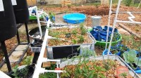 Backyard Aquaponics | The Survival Gardener
