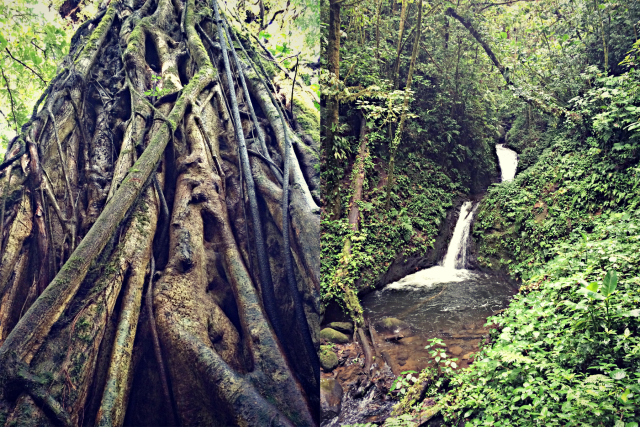 Strangler fig, Monteverde Cloud Forest Reserve