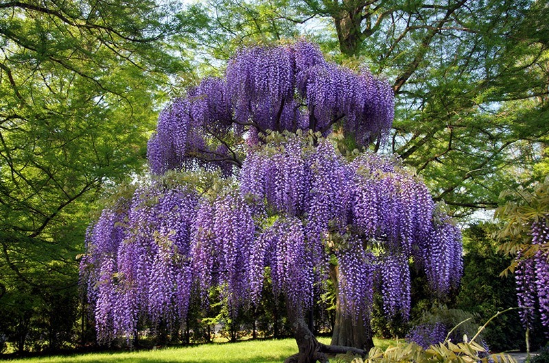 Wisteria Falls Wallpaper Purple Wisteria For Sale Online The Tree Center