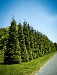 Evergreen Trees | Buy Evergreen Trees Online | The Tree Center