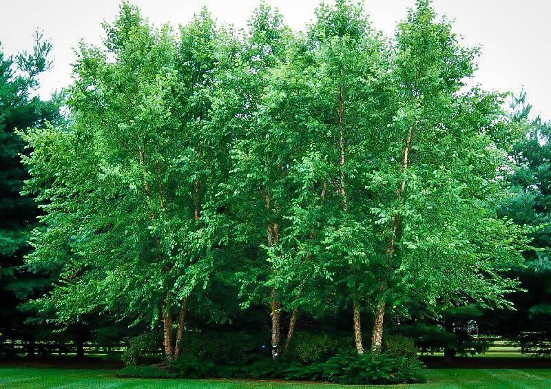 Dura Heatr River Birch The Tree Centertm