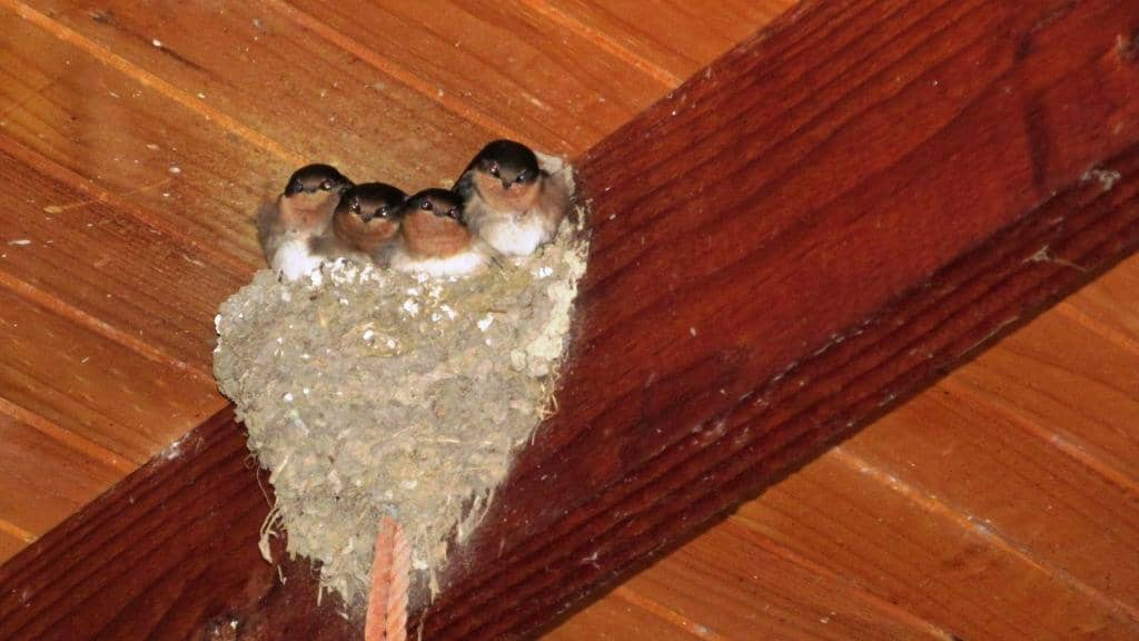 Welcome Swallows: