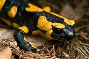 Van salamanders naar tissue regeneration