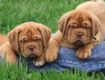Image For Dogue De Bordeaux Puppy For Sale