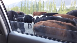Herds of yaks and cows were common sights, roaming freely on the roads of Northern Ladakh