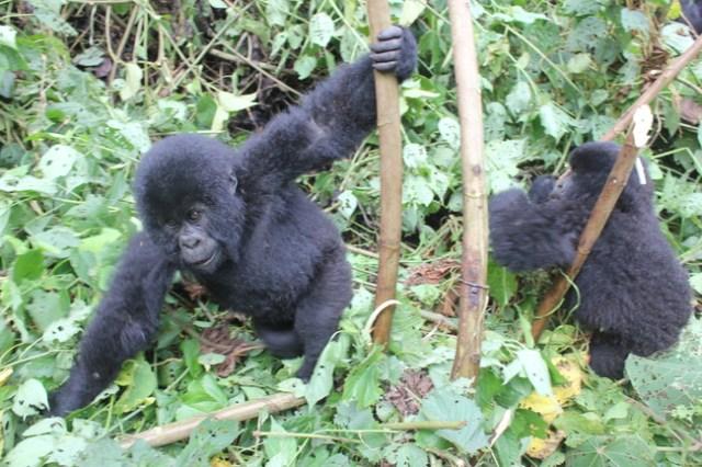 Gorilla Trekking in the Congo, The Wanderlust Effect