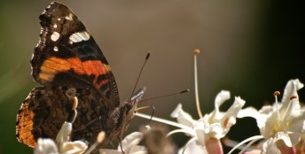 Butterfly in Buckeye Tree