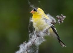 microgoldfinch