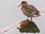 Green-winged Teal Juanita Bay Kirkland