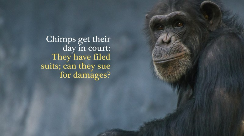 Chimps in court