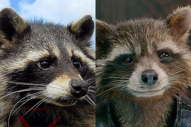 Oreo the Raccoon, Inspiration for \u0027Guardians of the Galaxy