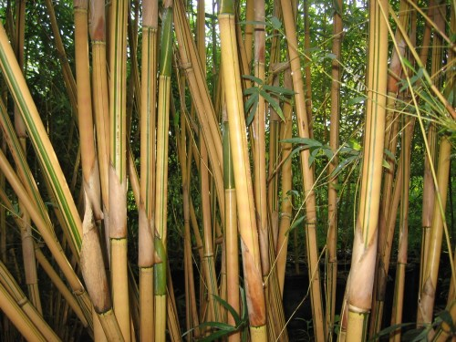 Medium Of Alphonse Karr Bamboo