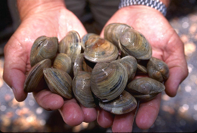 New Jersey Littleneck Clams