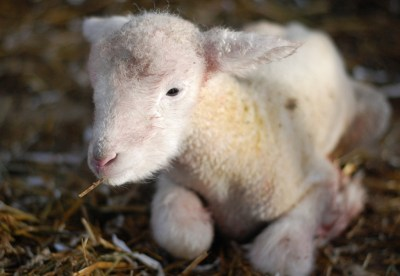 Things to Do In New Jersey - Howell Living History Farm - Newborn Lamb