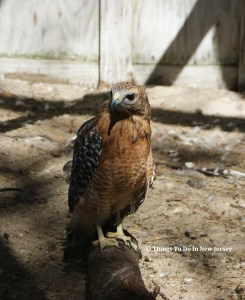 Hawk at Woodford Cedar Run | Things to Do In New Jersey