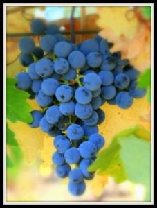 cabernet grapes 2