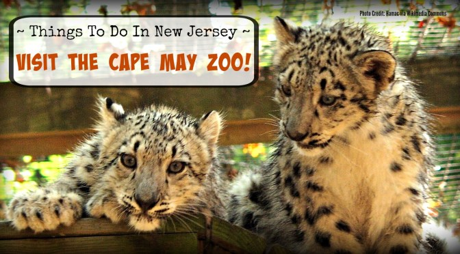 4 Month old snow leopard cubs at the Cape May Zoo | find out more at www.thingsotodonewjersey.com | #nj #newjersey #capemay #jerseyshore #zoos #free #thingstodo #kids #daytrips #fieldtrips