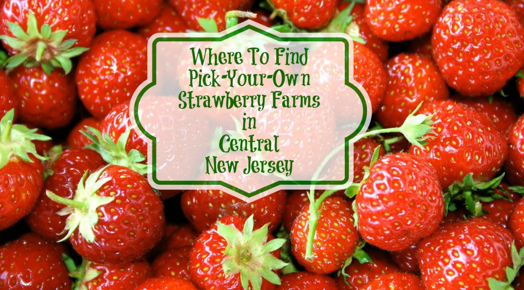 Where to Find Pick Your Own Strawberry Farm in Central New Jersey. A Complet Guide to Strawberry Picking in Central Jersey! | find out more at www.thingstodonewjersey.com | #nj #newjersey #central #centraljersey #burlingtoncounty #hunterdoncounty #mercercounty #middlesexcounty #monmouthcounty #oceancounty #somersetcounty #strawberrypicking #pickyourown #farms #farm #strawberry #strawberries #thingstodo #familyfriendly