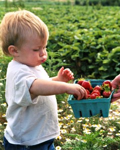 U-Pick strawberry patches are popular with young and old alike. Find a pick-your-own strawberry farm in Central New Jersey here! | find out more at www.thingstodonewjersey.com | #nj #newjersey #central #centraljersey #strawberrypicking #pickyourown #farms #farm #strawberry #strawberries #thingstodo